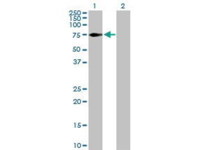 Rabbit Anti-NEK3 Antibody