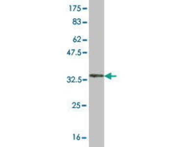 Mouse Anti-GRM8 Antibody
