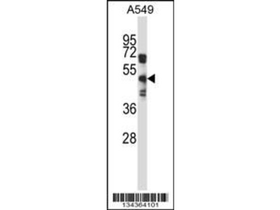 Rabbit Anti-S1PR5, ID Antibody