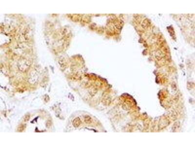 Goat Anti-EDG3 Antibody