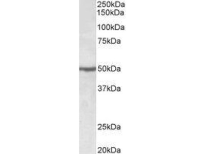 Goat Anti-EEF1A2 Antibody