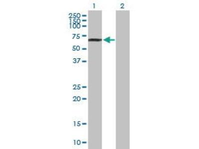 Mouse Anti-Pericentrin 1 Antibody