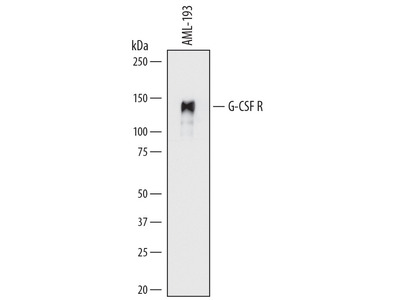 Mouse Anti-Granulocyte Colony Stimulating Factor Receptor Antibody