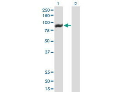 Mouse Anti-Tetratricopeptide Repeat Protein 15 Antibody