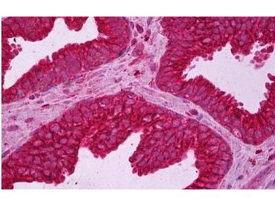 Mouse Anti-Tubulin, alpha 1 Antibody