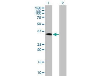 Mouse Anti-HAO2 Antibody