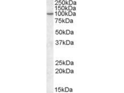 Goat Anti-AGAP2, ID Antibody