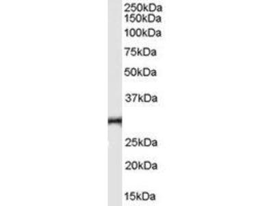 Goat Anti-TNFRSF14 Antibody