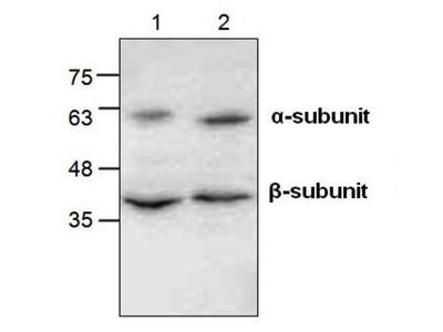 Rabbit Anti-CD312 Antibody