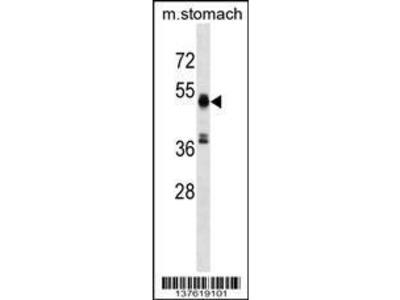 Rabbit Anti-RMND5A, CT Antibody