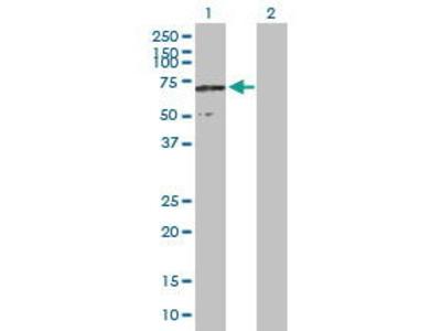 Mouse Anti-CCDC155 Antibody