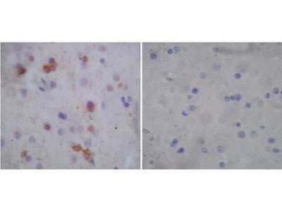 Rabbit Anti-G-Protein Coupled Receptor 30 Antibody
