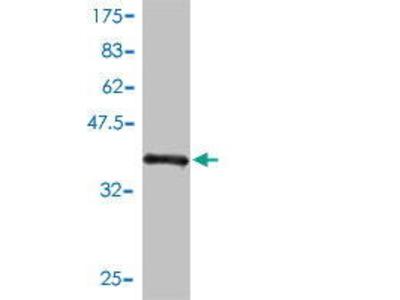 Mouse Anti-LRRC5 Antibody