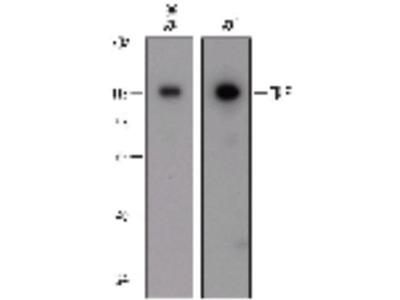 Mouse Anti-TICAM1 Antibody