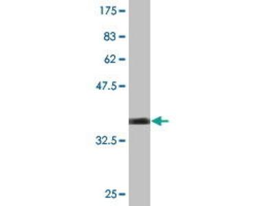 Mouse Anti-BCL2L10 Antibody