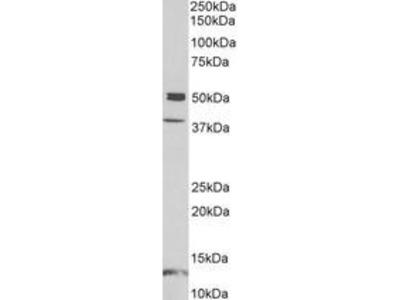 Goat Anti-NPTX1 Antibody