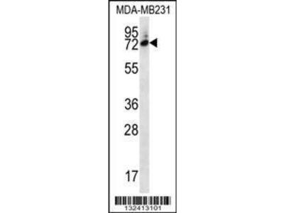 Rabbit Anti-SIX5, ID Antibody