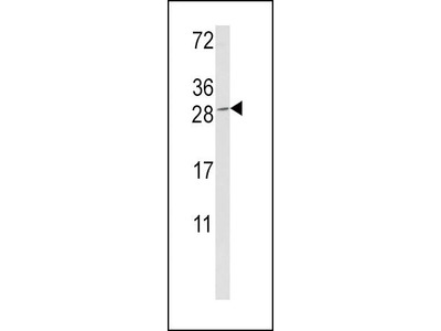Rabbit Anti-Granzyme M Antibody