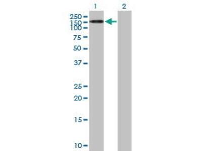 Mouse Anti-TEX2 Antibody