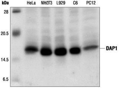 Rabbit Anti-DAP1 Antibody