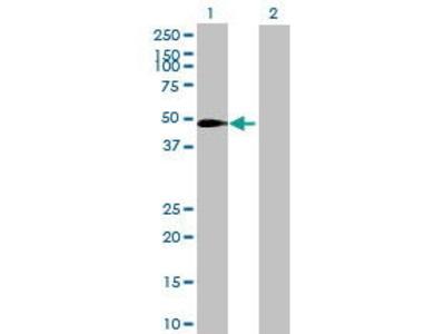Mouse Anti-SLC37A3 Antibody