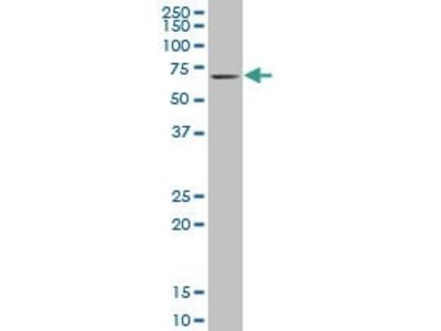 Mouse Anti-KLF11 Antibody