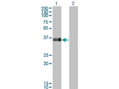 Mouse Anti-MARCKSL1 Antibody