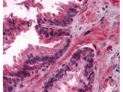 Mouse Anti-LCN1 Antibody