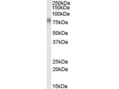 Goat Anti-TCF3 Antibody