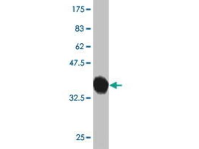 Mouse Anti-PCDHGB2 Antibody