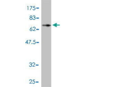Mouse Anti-CCNK Antibody