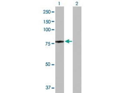 Rabbit Anti-Nucleolin Antibody