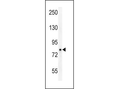 Rabbit Anti-OCA2, NT Antibody