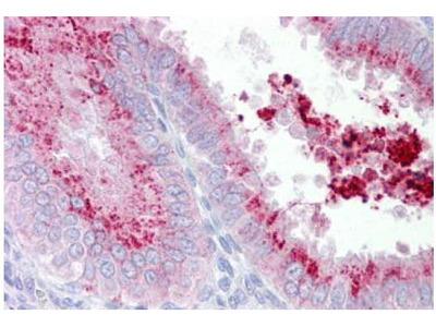 Rabbit Anti-KIAA1324 Antibody