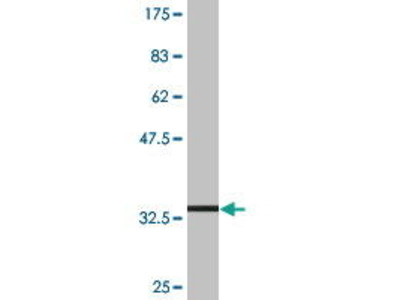 Mouse Anti-SLC36A2 Antibody