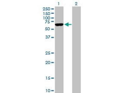 Mouse Anti-ARMCX5 Antibody