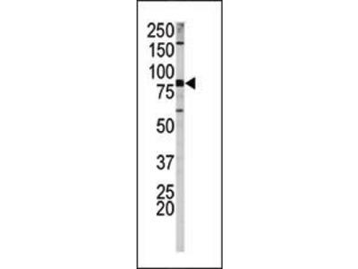 Rabbit Anti-APP, phosphorylated Antibody