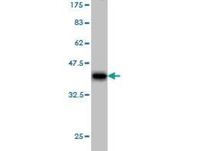 Mouse Anti-PCDHB6 Antibody
