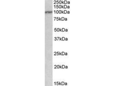 Goat Anti-IL12RB1 Antibody
