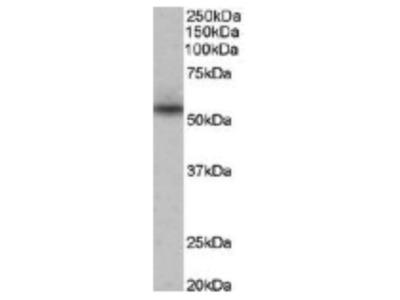 Goat Anti-Nprl3 Antibody