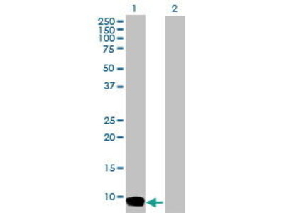 Rabbit Anti-CCL26 Antibody
