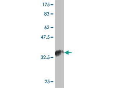 Mouse Anti-CCL4L1 Antibody