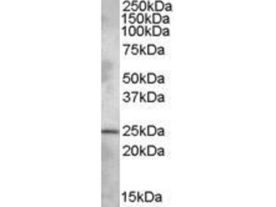 Goat Anti-PLEKHB1 Antibody