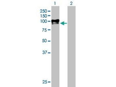 Mouse Anti-PAMR1 Antibody