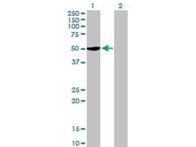 Mouse Anti-SERBP1 Antibody