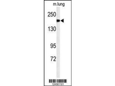 Rabbit Anti-A2ML1, NT Antibody