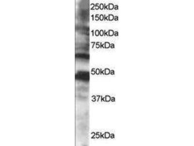 Goat Anti-CPEB Antibody