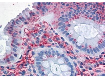 Rabbit Anti-SLC1A5 Antibody