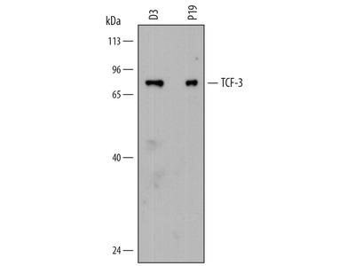 Rat Anti-TCF-3 Antibody