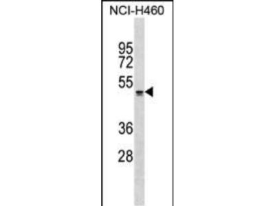 Rabbit Anti-QRFPR, ID Antibody